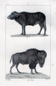 African buffalo - Syncerus caffer - Bison - Bovids - Ruminantia