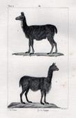 Llama - Vicu�a - Mammals - Camelidae