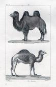 Camel - Dromedary - Mammals - Camelidae