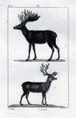 Moose - Eurasian elk - Reindeer - Caribou - Cervidae - Mammals