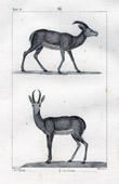 Gazelle - Antelope - Corine - Mammals - Bovids - Ruminantia