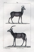 Antelopes - Klipspringer - Oreotragus oreotragus - Ch�vre bleue - Antilope leucoph�a - Mammals - Bovids