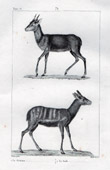 Antelopes - Guib - Situtunga - Tragelaphus spekii - Grimme - Cephalophus rufilotus - Mammals - Bovids - Ruminants