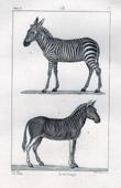 Zebra - Plains Zebra - Equus quagga - Mammals - Equidae - Horse family