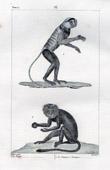 Monkey - Douc - Vietnam -  Guenon � crini�re - Mane - Mammals - Primates