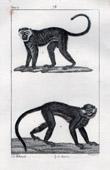 Monkey - Malbrouck -  Moustae - Mammals - Primates