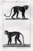 Monkey - Chlorocebus - Patas monkey - Mammals - Primates