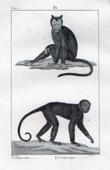 Monkey - Sajou - Cebinae - Mammals - Primates