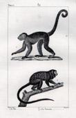 Monkey - Sai - Capuchin - Tamarin - Saguinus - Mammals - Primates