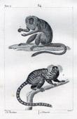 Monkey - Marikina - Marmoset - Mammals - Primates - Callitrichidae