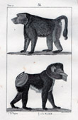 Monkey - Papio - Mandrill - Mammals - Primates