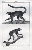 Lemurids - Loris - Mammals