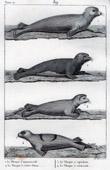 Gravure ancienne - Phoque - Mammifère marin - Carnivore - Banquise - Phocidés
