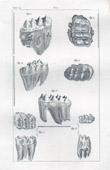 Gravure ancienne - Buffon - Histoire naturelle - Dents