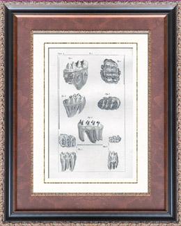 Buffon - Histoire naturelle - Dents