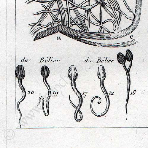Gravures anciennes anatomie buffon m decine for Anatomie du meuble