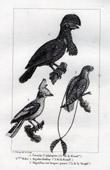Buffon - Birds - Coracine - Cephalopterus - Bagadais - Prionops - Nightjar - Caprimulgus longipennis