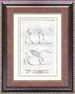 Buffon - Skelett - Anoplotherium Gracile - Paleotherium magnum - Fossilen