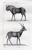 Gnu - Wildebeest