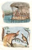Papua-Neuguinea - Gesänge und Trauermahlzeiten an Doreï - Paradisaeidae - Paradiesvögel