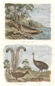 Print of Australia - Indigenous Australians - Pirogue in Bent Bark - Emus - Casoar - Lyrebird - Menuridae