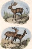 Mammals - Deer - Moose - Eurasian elk - Reindeer - Caribou - Chamois