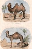 Mammals - Camel - Dromedary - Camelidae