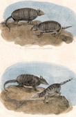 Mammals - Armadillos - Cabassou - Encoubert - Cachicane - Tamandua - Carapace