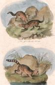 Mammals - Genet - Civet - Malagasy Civet - Fanaloka
