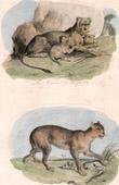 Mammals - Felids - Lioness - Puma - Cougar