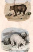 Mammals - Brown Bear - Polar bear