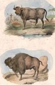 Mammals - Bovids - Buffalo - Bison