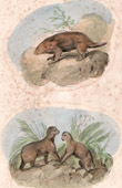 Mammals - Porcupine - Pale-throated Sloth - Bradypus tridactylus