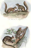 Mammals - Flying squirrel - Palmiste - Coqualin - Taguan - Palatouche