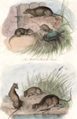 Mammals - Rodents - Rat - Mouse - Common Vole - Yellow-necked Mouse