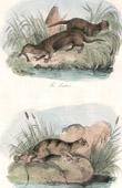 Mammals - Mustelids - Otters