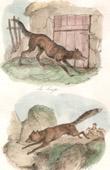 Mammals - Canidae - Wolf - Red fox