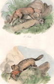 Mammals - Canidae - Red fox - Arctic fox