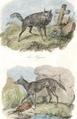 Mammals - Hyena - Jackal