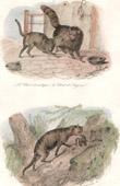 Mammals - Felids - Cat - European Wildcat