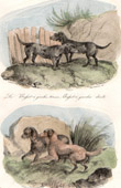 Mammals - Canidae - Dogs - Norman Artesian Basset - Epagneul - Barbet