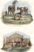 Mammals - Goat - Capra aegagrus - Pig