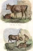 Mammals - Cow - Calf - Lamb - Sheep