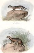 Mammals - Touan - Didelphe Touan - Marsupials - Least weasel - Griton - Beech marten