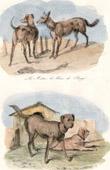 Mammals - Canidae - Dogs - Herding dog - Great Dane - Mastiff