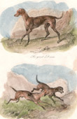 Mammals - Canidae - Great Dane - Chien Courant