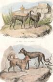 Mammals - Dog - Canidae - Wolfdog - Kangal Dog - Gredin