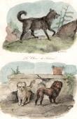 Mammals - Canidae - Dog - Siberian Husky - Maltese - Löwchen