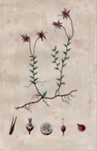 Botanischer Druck - Botanik - Moosbeeren