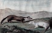 Stoat - Sable - Martes Zibellina